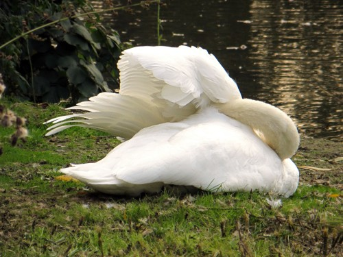 What Swans Do