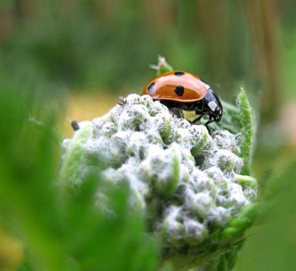 Ladybird 3