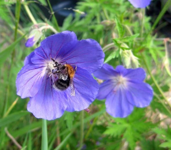 geranium & bee