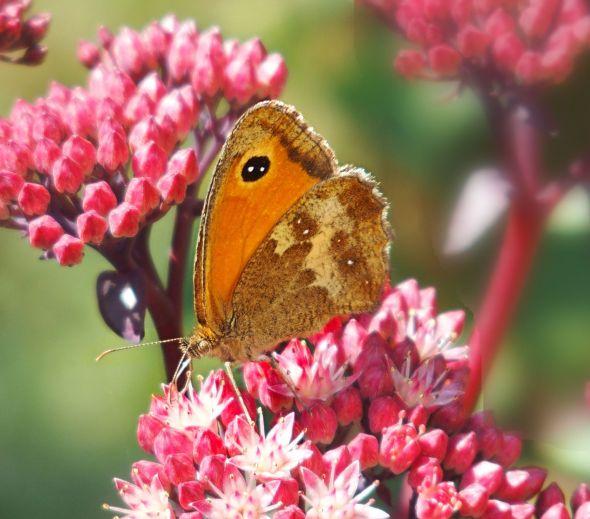 Butterfly & sedum