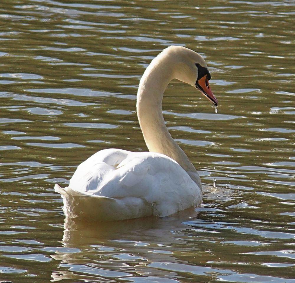 Swanning Around (2/3)