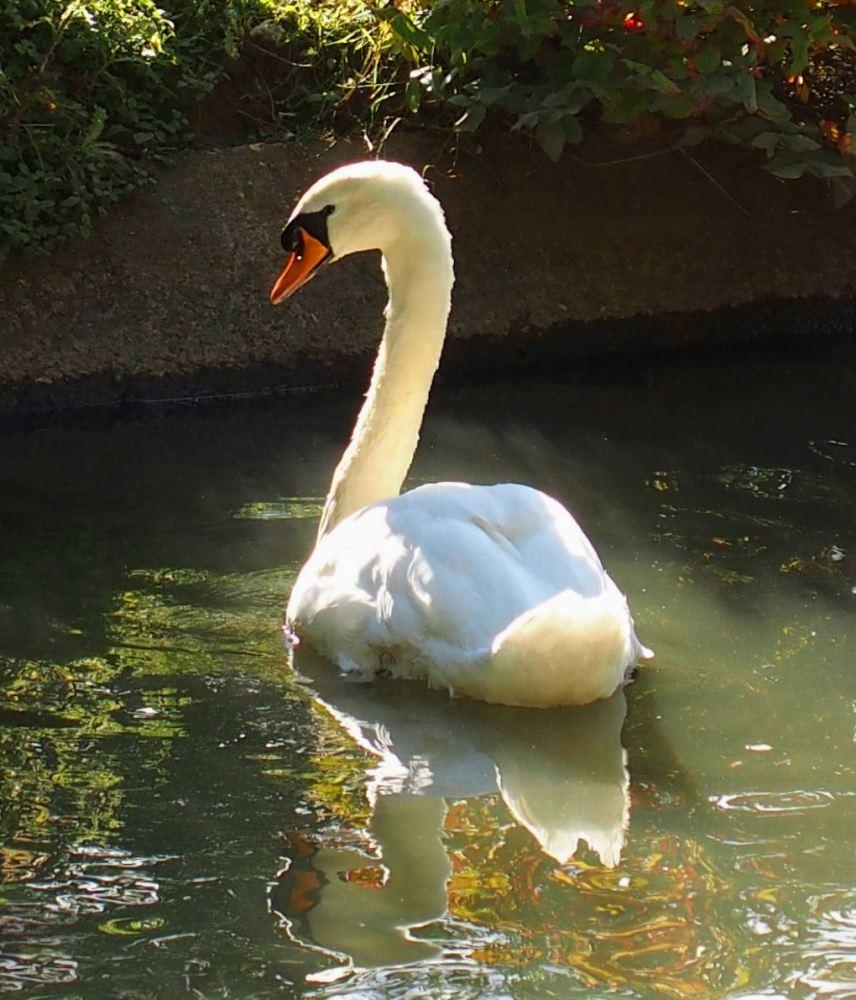 Swanning Around (3/3)