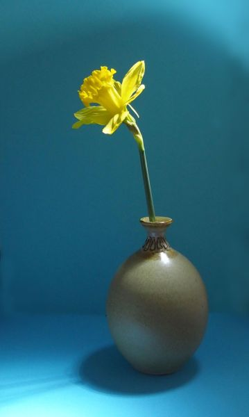 Daffodil in Pot