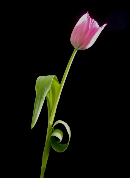tulip sculpture 2