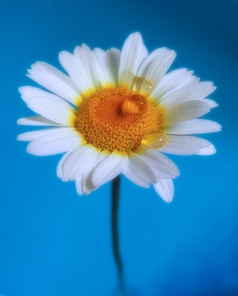 My favourite daisy