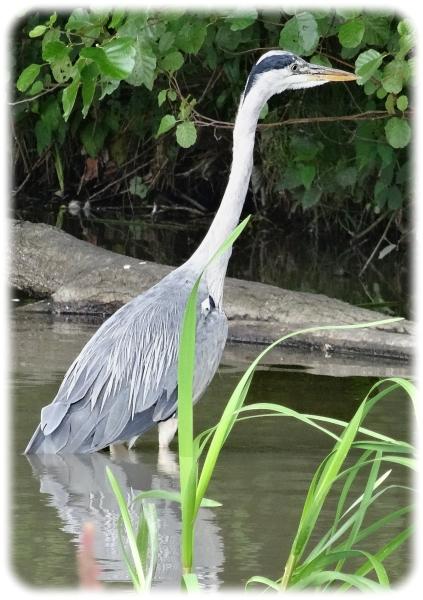 Heron copy1