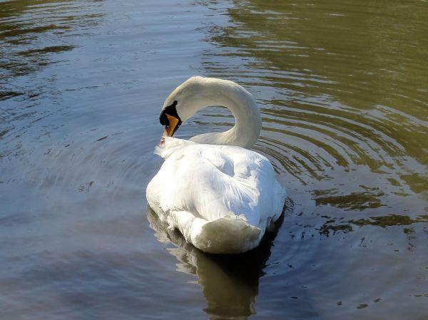 Swan11