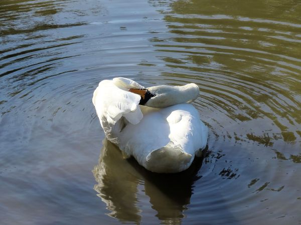 Swan12