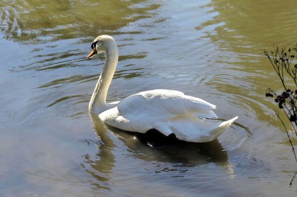 Swan8c