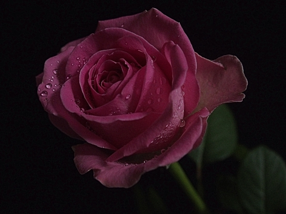 Pink Rose 4