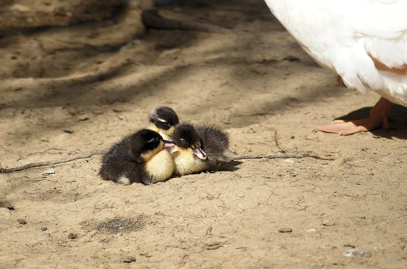 A Cuddle of Ducklings