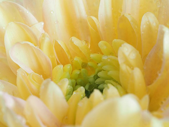 2f soft Yellow Chrysanth